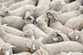 Herd Of Sheep On A Truck Stock Photo - 59323100