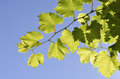 Grape Leaves Stock Photography - 59332602