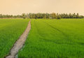 Green Rice Field With Trail Royalty Free Stock Images - 59336539