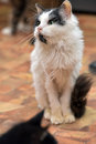 Black With White  Thin Fluffy Cat Royalty Free Stock Photos - 59360488