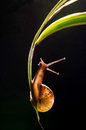 Snail On A Leaf Royalty Free Stock Photo - 59366825