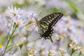Pteris Butterfly Royalty Free Stock Image - 59413506