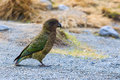 Close Up Beautiful Color Feather ,plumage Of Kea Birds With Blur Stock Images - 59426694