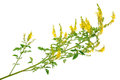 Medicinal Plant: Melilotus Officinalis (Yellow Sweet Clower) Royalty Free Stock Photos - 59430508