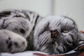 Sleeping Cat. Royalty Free Stock Photo - 59447785