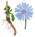 Medicinal Plant: Chicory Stock Images - 59448884