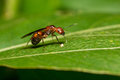 Portrait Of  Ant (with Wings)  - Camponotus Habereri Stock Photography - 59472082
