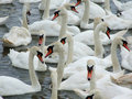 Swans Stock Images - 5952634