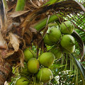 Coconuts Stock Photography - 5958162