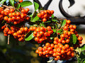 Berries Of The Fire Thorn Bush Stock Photo - 59513820