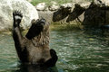Brown Bear In The Water Lifting Up Royalty Free Stock Photography - 59537897