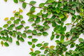 Abstract Green Creeper Plant On White Painted Concrete Wall Background Royalty Free Stock Image - 59542106