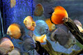 Discus Fish Royalty Free Stock Photo - 59565645