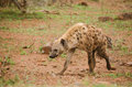 Hyena Walking Stock Photo - 59589940