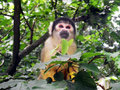 Monkey. Squirrel Monkey Portait. Royalty Free Stock Photo - 59598245