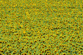 Sunflower Field From Above Royalty Free Stock Images - 5961059