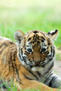 Siberian Tiger Cub Royalty Free Stock Images - 5969979