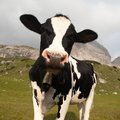 Head Of Cow (bos Primigenius Taurus), With Cowbell Stock Image - 59649411
