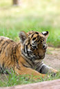 Siberian Tiger Cub Royalty Free Stock Photo - 5970025