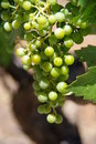Bunch Of Grapes Stock Image - 5979151