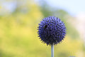 Blue Globe Flower Stock Photography - 59701352