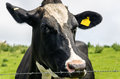 Dairy Cow Royalty Free Stock Images - 59731919