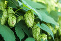Green Hops Stock Images - 59733194