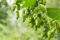 Green Hops Stock Image - 59734171