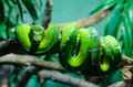 Green Snake Curled Up On Branch Royalty Free Stock Photography - 59742087