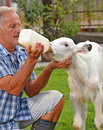 Farmer Feeding A Baby White Cow Stock Photography - 59781162
