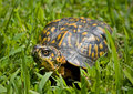 Box Turtle Royalty Free Stock Photography - 5982447
