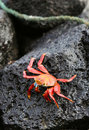 Sally Lightfoot Crab On Volcanic Rock Royalty Free Stock Photo - 5987025