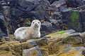 Grey Seal Pup, Farne Islands Nature Reserve, England Royalty Free Stock Photo - 59824035