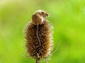 Harvest Mouse Stock Image - 59847911