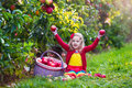Little Girl Picking Apples From Tree In A Fruit Orchard Royalty Free Stock Photography - 59894057