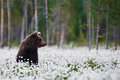 Brown Bear Between The Cotton Grass Stock Image - 59895781