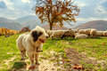 Dogs Guard The Sheep On The Mountain Pasture Stock Photography - 59897182