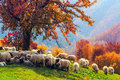Sheep Under The Tree In Transylvania Royalty Free Stock Image - 59897566