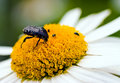 White Flower Petal With Beetle Stock Image - 5992641