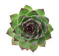 Closeup Succulent Sempervivum Isolated On White, Other Names Is Houseleeks, Liveforever And  Hen And Chicks Stock Image - 59922401