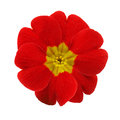 Primrose Red Flower Isolated Royalty Free Stock Photo - 59938335