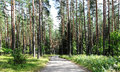 Pine Forest Stock Photo - 59951870
