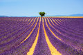Lavender And Lonely Tree Uphill. Provence, France Royalty Free Stock Photos - 59954948