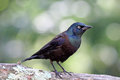 Grackle On A Branch Stock Photo - 59977780