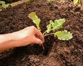 Planting Purple Sprouting Broccoli Royalty Free Stock Photo - 59978095