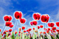 Light Effects In Group Of Red Tulips With Blue Sky Stock Photography - 60066412