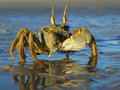 Ghost Crab Royalty Free Stock Photo - 6010085