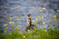Chipmunk By The Water Stock Image - 60116771