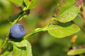 Wild Blueberry On The Bush In Forest. Vaccinium Myrtillus Royalty Free Stock Images - 60137199