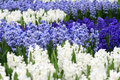 Blue And White Hyacinths Royalty Free Stock Photography - 60153117